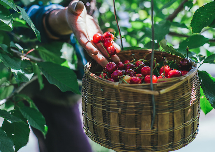 Cherry Harvesting in a cherry orchard at Himachal Pradesh, India